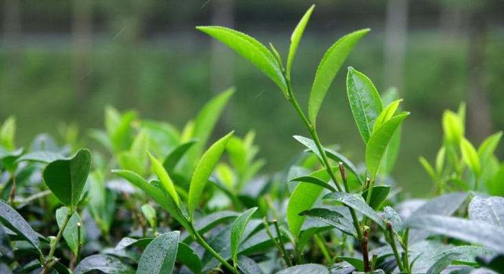 ceylon black tea leaf