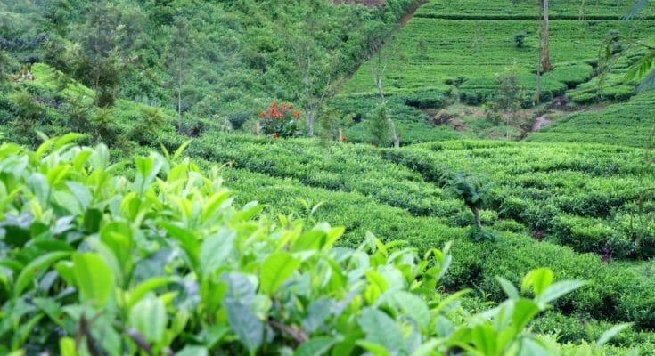 fresh tea leaves at halpe tea