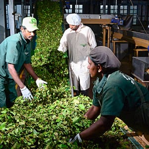 halpe tea factory