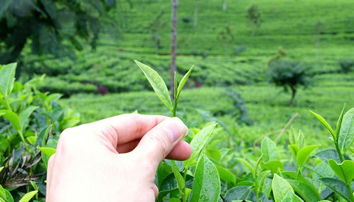 pure ceylon tea leaf