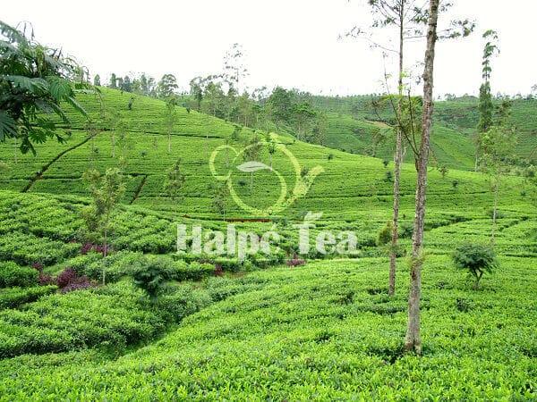 fresh tea plantations of sri lanka