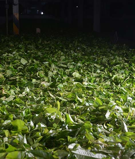tea-leaves