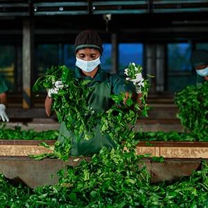 tea-manufacturing-ella